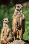 Meerkat (Suricata Suricatta) found in Arnhem Zoo — Stock Photo