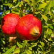 Tree branch with ripe and red pomegranate fruit — Stock Photo #60467737