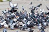 Hungry feral pigeons ( columba livia ) eating on park alley food — Stock Photo