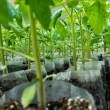 Small tomato  plants in a greenhouse for transplanting — Stock Photo #67657581