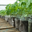 Small tomato  plants in a greenhouse for transplanting — Stock Photo #67657917