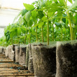 Small tomato  plants in a greenhouse for transplanting — Stock Photo #67658557