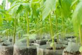 Small tomato  plants in a greenhouse for transplanting — Stock Photo