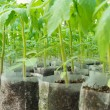 Small tomato  plants in a greenhouse for transplanting — Stock Photo #67660047