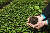 Man handen met een groene jonge peper plant in kas. Symbo — Stockfoto