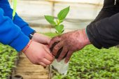 Man hands holding a green young peper plant in greenhouse. Symbo — Stock Photo