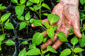 Closeup of the hands of a man who treats small pepper plants in  — Stock Photo