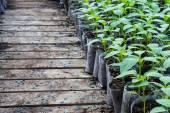 Malý pepř rostlin ve skleníku k přesazení — Stock fotografie