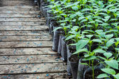Small pepper plants in a greenhouse for transplanting — Stock Photo