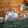 Sheeps on the field at sunset — Stock Photo #66047201