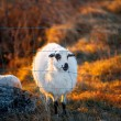 Sheeps on the field at sunset — Stock Photo #66057959