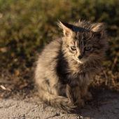 Little fluffy gray cat — Stok fotoğraf