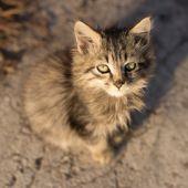 Little fluffy gray kitten looking up — Stock Photo