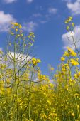 Rape field under blue cloudy sky — Stock Photo