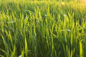 Green wheat field on sunset — Stock Photo