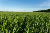 Green wheat field — Stockfoto