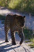 Leopard South Africa — Stock Photo