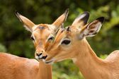 Impala Kiss South Africa — Stock Photo