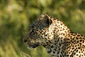 Leopard - South Africa — Stock fotografie