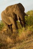 Elephant - South Africa — Stock Photo