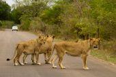 Lion - South Africa — ストック写真