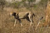 Cheetah - South Africa — Stock Photo