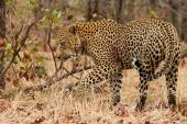 Leopard - South Africa — Stock Photo