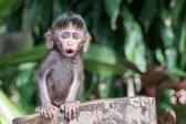 Emotions of the monkey — Stock Photo