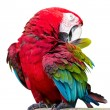 Red-winged Macaw, Ara chloropterus, in front of white background — Stock Photo #63258563