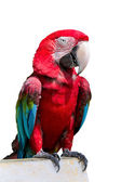 Red-winged Macaw, Ara chloropterus, in front of white background — Stock Photo