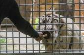 White Tiger eating food behind cage — Stock Photo