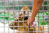 Lion eating food behind cage — Stock Photo