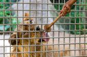 Kafes yemek yeme aslan — Stok fotoğraf