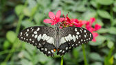 Бабочка (известь бабочка) — Стоковое фото