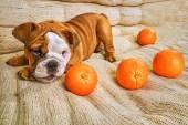 Bulldog puppy playing — Stock Photo