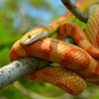 Amel Motley Corn Snake wrapped around a branch — Stock Photo #65619207