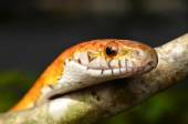 Sunkissed Corn Snake close up eye and detail scales — Zdjęcie stockowe