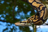 Fire Ball Python Snake wrapped around a branch — Stock Photo