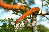 Sunkissed Corn Snake wrapped around a branch — Stock Photo