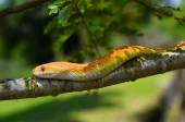 Amel Motley Corn Snake wrapped around a branch — Stock Photo