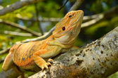 Hypo Leatherback Bearded Dragon perched on a branch — Stock Photo