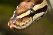 Fire Ball Python Snake close up eye and detail scales — Stock Photo