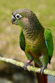 Green Cheek Conure perched on a branch — Stock Photo