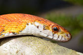 Sunkissed Corn Snake close up eye and detail scales — Stock Photo