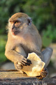 Long-tailed Macaque monkey eating in the evening — Stock Photo