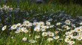 Bílé sedmikrásky, přírodní pozadí — Stock fotografie