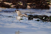 Sanderling hovering — Stock Photo