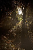 Deep forest at sunset — Stock Photo