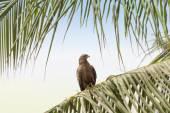 Black kite (Mulvus Migrant) on a palm tree branch, Dakar, Senegal — Stock Photo