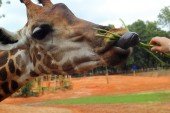 Giraffe and nature in the zoo — Stock Photo